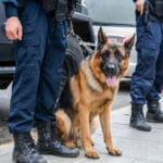 Can Police Use Drug Sniffing Dogs to Search Your Car?